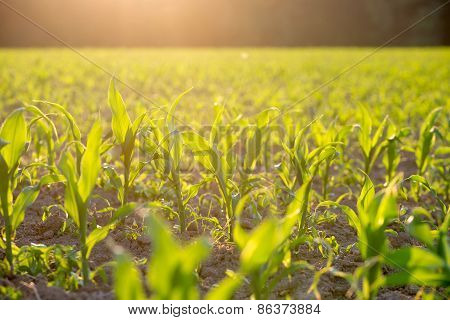 Field Of Green Maize Or Corn Plants Backlit By The Sun