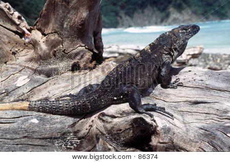 Black Iguana