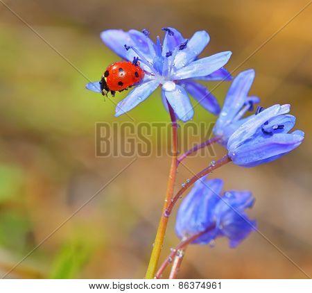 Ladybug On Violet Flowers In Spring Time