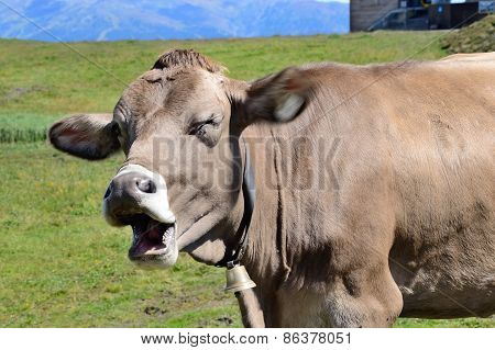 Cow In Alpes