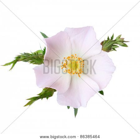 Light pink rose isolated on white. Rosa canina