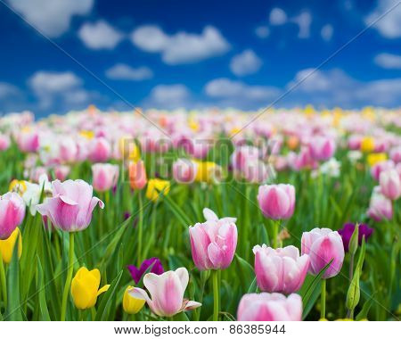 Colorful Tulips On A Sunny Spring Day