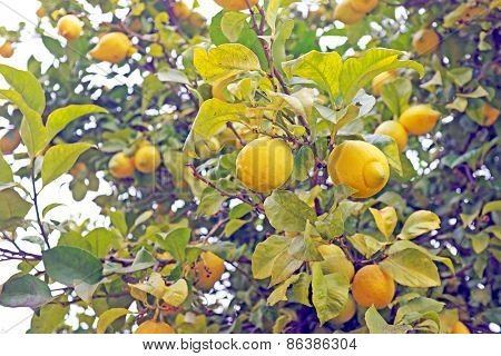 Ripe lemons on e tree