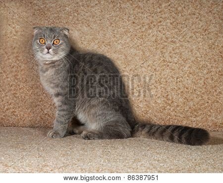 Scottish Fold Gray Cat Sitting On Couch