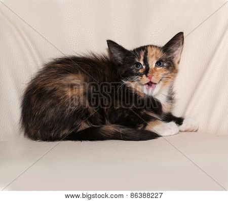 Tricolor Fluffy Kitten Sitting On Leather Chair