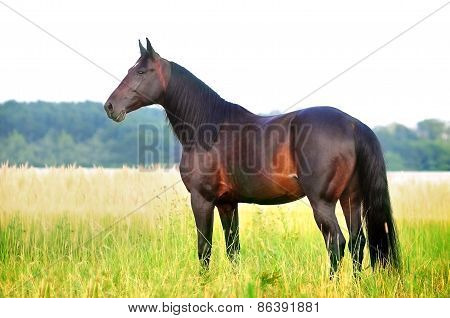 Dark Bay Horse In The Meadow