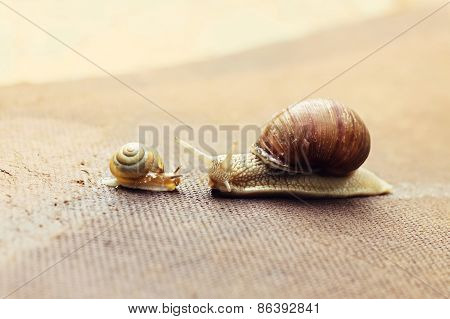 Garden Snail (helix Aspersa) With Its Baby