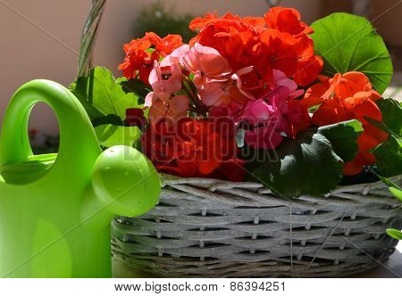 Green watering can and bright geranium flowers.