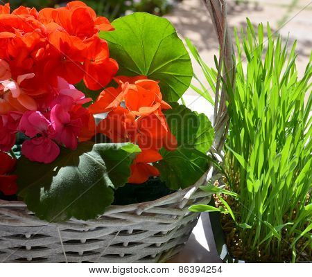 Red geranium flowers in a basket and green grass.