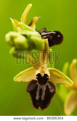 Early Spider Orchid Flower - Ophrys Incubacea