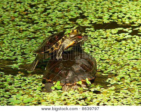 Atocha Tortoises (trachemys Scripta Pond Slider)