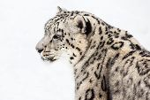 stock photo of snow-leopard  - Profile Portrait of Snow Leopard in Snow - JPG