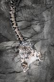 stock photo of parkour  - Snow Leopard Bouncing Off Rock Wall in Parkour Fashion - JPG