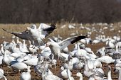 stock photo of snow goose  - Greater snow goose landing in a dormant cornfield during migration along the Atlantic Flyway - JPG