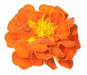stock photo of marigold  - African Marigold  - JPG