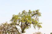 pic of oleander  - Bael  - JPG