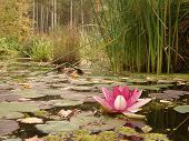 picture of hydrophytes  - Water lily in the pond - JPG