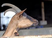 foto of goat horns  - big goat with long horns in animal farm - JPG