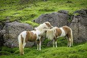 foto of iceland farm  - An Icelandic horses roaming free in west Iceland