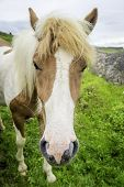 foto of iceland farm  - An Icelandic horse roaming free in west Iceland - JPG
