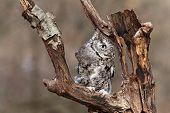 pic of screech-owl  - Eastern Screech Owl sits on a dead tree limb looking for prey - JPG