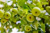picture of apple tree  - Apple tree with green organic apples - JPG