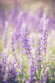 stock photo of salvia  - blue salvia flowers in vintage toneout of focus - JPG