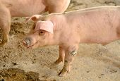 pic of pig  - example of  pig in Thai stlye commercial pig farm  - JPG