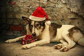 stock photo of sad christmas  - Sad Malamute Dog in a Santa Hat holding a Christmas gift - JPG