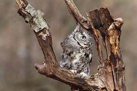 picture of screech-owl  - Eastern Screech Owl sits on a dead tree limb looking for prey - JPG