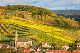 picture of husbandry  - Vineyards with autumn colors - JPG