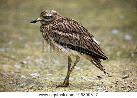 Eurasian stone curlew (Burhinus oedicnemus). Wild life animal.