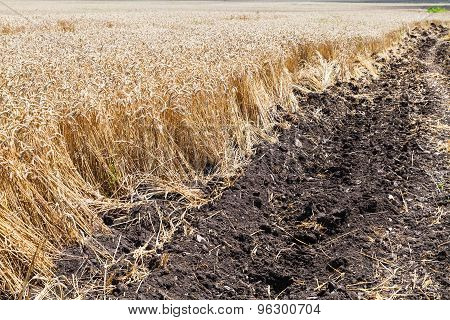 Plowed Land And Field With Ripe Wheat