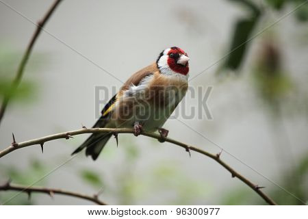 European goldfinch (Carduelis carduelis). Wild life animal.