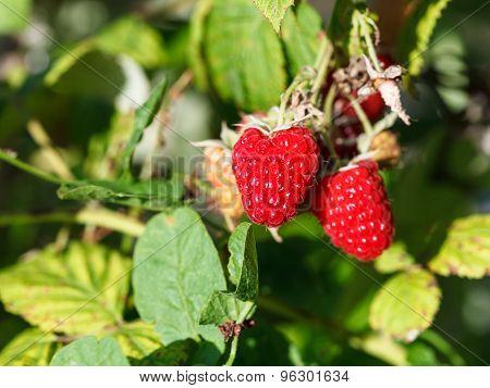 Red Raspberries On Green Bush In Garden