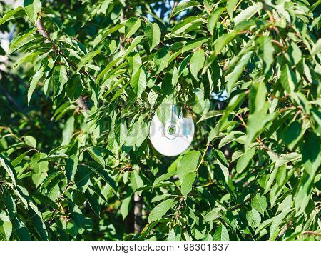 Compact Disc On Black Cherry Tree In Sunny Day