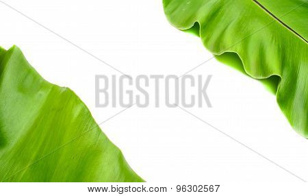 Birds Nest Fern Leaves