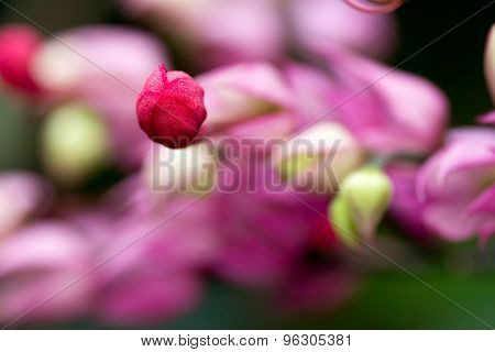 Close Up Bleeding Heart Flower Flaming Bower