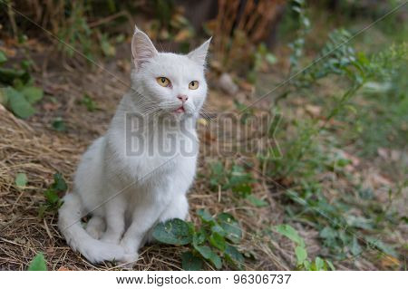 White cat with hypnotizing eyes