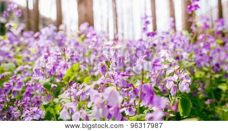 Purple Violet Flowers