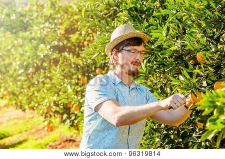 Cheerful young man harvests oranges and mandarins on citrus farm