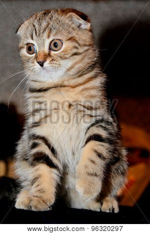 Little Kitten Scottish Fold Breed