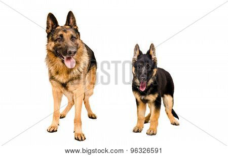 Dog and puppy breed German Shepherd