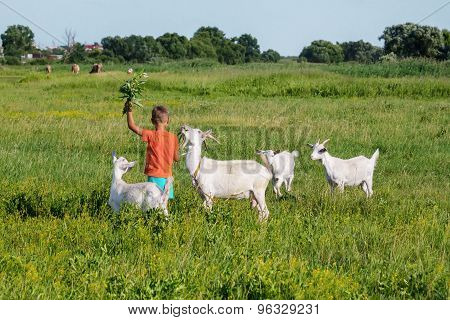 Boy  tending goats on meadow.