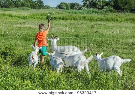 Boy playing with goats on  meadow.