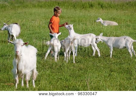 Kid playing with  goats on  meadow.