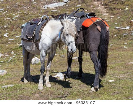 Two Horses For Tourists On The Rohtang Pass, Which Is On The Road Manali - Leh. India, Himachal Prad