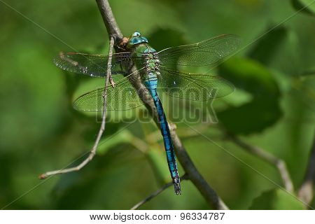 Blue Dragonfly   On A Twig And Eats Caught Cicada.