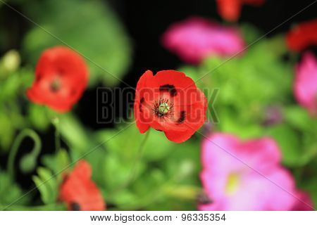 A vibrant Red Poppy against a natural background of blurred flowers