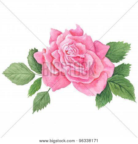 Pink Rose Botanical Illustration